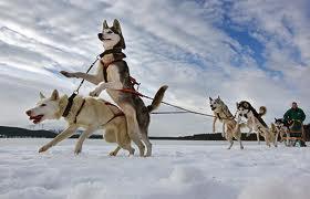 Husky dogs aviemore